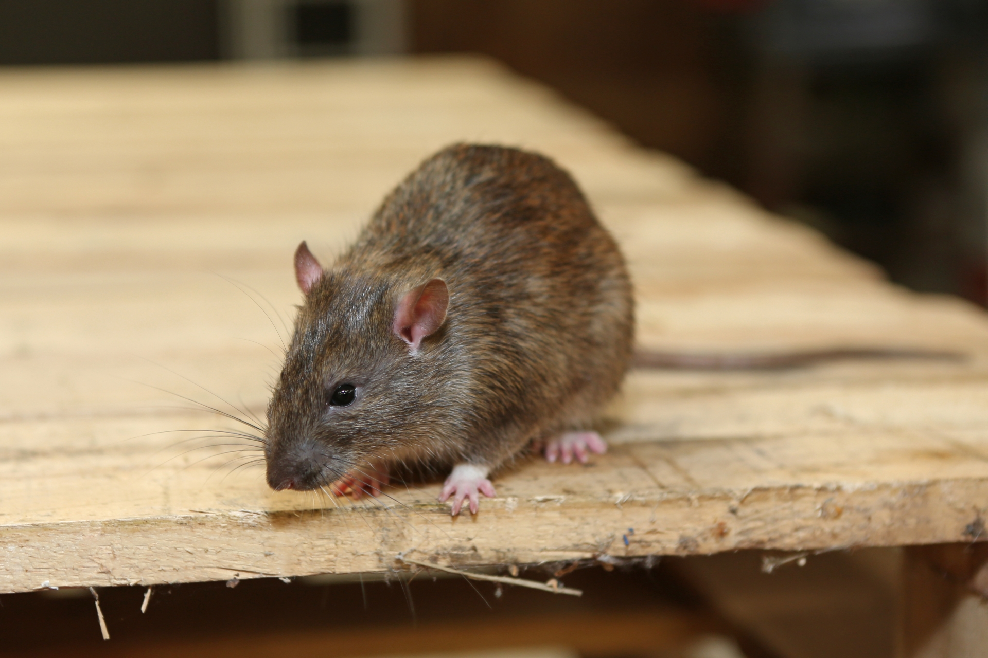 Rat Infestation, Pest Control in Totteridge, Whetstone, N20. Call Now 020 8166 9746