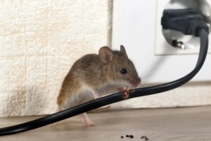 Mice Control, Pest Control in Totteridge, Whetstone, N20. Call Now 020 8166 9746