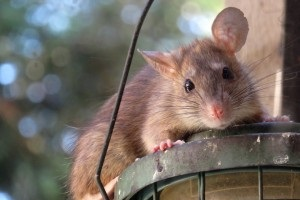 Rat extermination, Pest Control in Totteridge, Whetstone, N20. Call Now 020 8166 9746